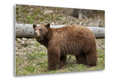 Cinnamon Black Bear (Ursus Americanus), Yellowstone National Park, Wyoming-James Hager-Metal Print