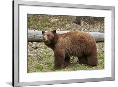 Cinnamon Black Bear (Ursus Americanus), Yellowstone National Park, Wyoming-James Hager-Framed Photographic Print