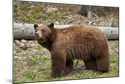 Cinnamon Black Bear (Ursus Americanus), Yellowstone National Park, Wyoming-James Hager-Mounted Photographic Print