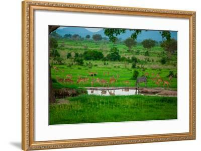 Zebra and Wildlife at the Watering Hole, Mizumi Safari Park, Tanzania, East Africa, Africa-Laura Grier-Framed Photographic Print
