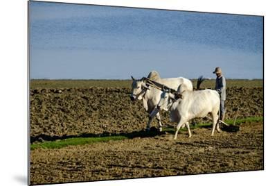 Farmer Ploughing His Field around Taungthman Lake, U Bein, Amarapura, Myanmar (Burma), Asia-Nathalie Cuvelier-Mounted Photographic Print
