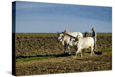 Farmer Ploughing His Field around Taungthman Lake, U Bein, Amarapura, Myanmar (Burma), Asia-Nathalie Cuvelier-Stretched Canvas Print