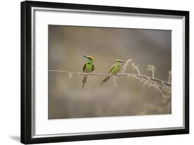 Green Bee Eater, Ranthambhore National Park, Rajasthan, India, Asia-Janette Hill-Framed Photographic Print