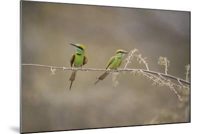 Green Bee Eater, Ranthambhore National Park, Rajasthan, India, Asia-Janette Hill-Mounted Photographic Print
