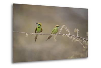 Green Bee Eater, Ranthambhore National Park, Rajasthan, India, Asia-Janette Hill-Metal Print