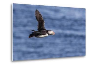 Adult Atlantic Puffin (Fratercula Arctica) in Flight with Fish in its Bill, Snaefellsnes Peninsula-Michael Nolan-Metal Print