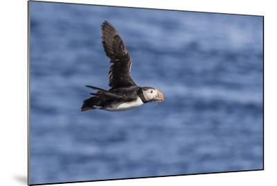 Adult Atlantic Puffin (Fratercula Arctica) in Flight with Fish in its Bill, Snaefellsnes Peninsula-Michael Nolan-Mounted Photographic Print