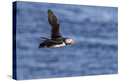 Adult Atlantic Puffin (Fratercula Arctica) in Flight with Fish in its Bill, Snaefellsnes Peninsula-Michael Nolan-Stretched Canvas Print
