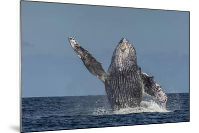 Adult Humpback Whale (Megaptera Novaeangliae), Breaching in the Shallow Waters of Cabo Pulmo-Michael Nolan-Mounted Photographic Print