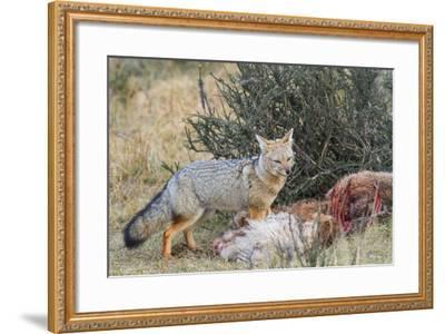 Grey Fox (Lycalopex Gymnocercus), Patagonia, Chile, South America-Pablo Cersosimo-Framed Photographic Print