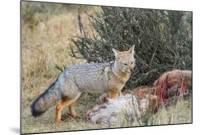 Grey Fox (Lycalopex Gymnocercus), Patagonia, Chile, South America-Pablo Cersosimo-Mounted Photographic Print