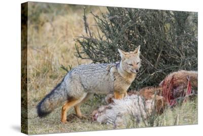 Grey Fox (Lycalopex Gymnocercus), Patagonia, Chile, South America-Pablo Cersosimo-Stretched Canvas Print