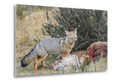 Grey Fox (Lycalopex Gymnocercus), Patagonia, Chile, South America-Pablo Cersosimo-Metal Print