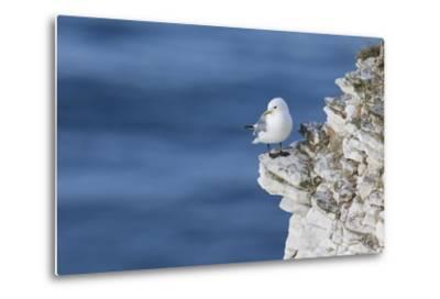Kittiwake (Rissa Tridactyla) Looking Out to Sea Perched on a Narrow Rocky Ledge at Bempton Cliffs-Garry Ridsdale-Metal Print