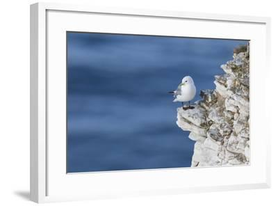 Kittiwake (Rissa Tridactyla) Looking Out to Sea Perched on a Narrow Rocky Ledge at Bempton Cliffs-Garry Ridsdale-Framed Photographic Print