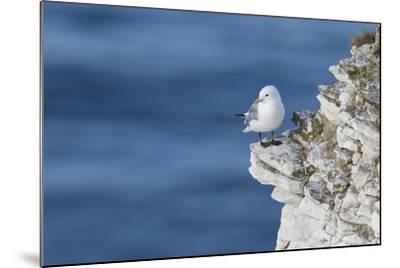 Kittiwake (Rissa Tridactyla) Looking Out to Sea Perched on a Narrow Rocky Ledge at Bempton Cliffs-Garry Ridsdale-Mounted Photographic Print