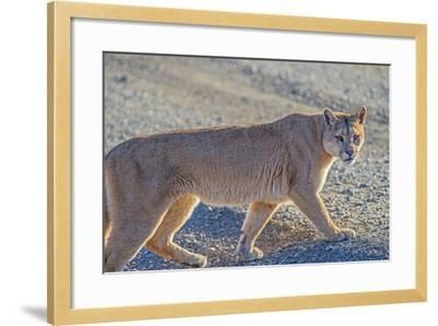 Puma (Puma Concolor) (Wild Puma), Patagonia, Chile, South America-Pablo Cersosimo-Framed Photographic Print