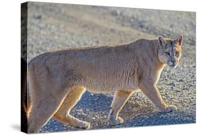 Puma (Puma Concolor) (Wild Puma), Patagonia, Chile, South America-Pablo Cersosimo-Stretched Canvas Print