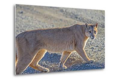 Puma (Puma Concolor) (Wild Puma), Patagonia, Chile, South America-Pablo Cersosimo-Metal Print