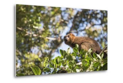 Red Bellied Lemur (Eulemur Rubriventer), Ranomafana National Park, Madagascar Central Highlands-Matthew Williams-Ellis-Metal Print