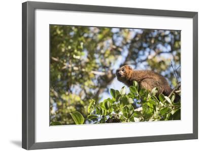 Red Bellied Lemur (Eulemur Rubriventer), Ranomafana National Park, Madagascar Central Highlands-Matthew Williams-Ellis-Framed Photographic Print