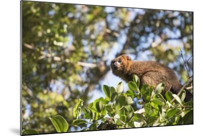 Red Bellied Lemur (Eulemur Rubriventer), Ranomafana National Park, Madagascar Central Highlands-Matthew Williams-Ellis-Mounted Photographic Print