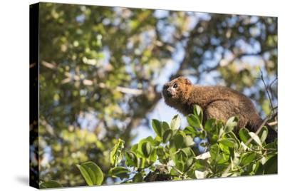 Red Bellied Lemur (Eulemur Rubriventer), Ranomafana National Park, Madagascar Central Highlands-Matthew Williams-Ellis-Stretched Canvas Print