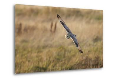Short-Eared Owl (Asio Flammeus) Manoeuvring In-Flight While Hunting for Prey Above Marsh Land-Garry Ridsdale-Metal Print