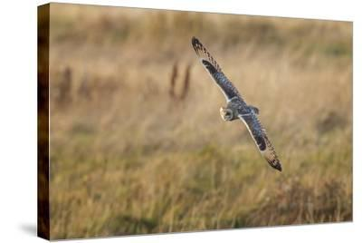 Short-Eared Owl (Asio Flammeus) Manoeuvring In-Flight While Hunting for Prey Above Marsh Land-Garry Ridsdale-Stretched Canvas Print
