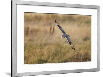 Short-Eared Owl (Asio Flammeus) Manoeuvring In-Flight While Hunting for Prey Above Marsh Land-Garry Ridsdale-Framed Photographic Print