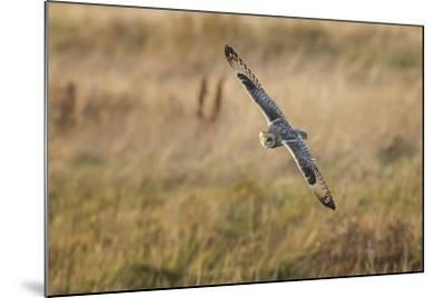 Short-Eared Owl (Asio Flammeus) Manoeuvring In-Flight While Hunting for Prey Above Marsh Land-Garry Ridsdale-Mounted Photographic Print