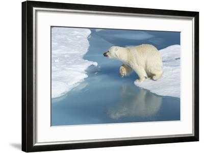 Male Polar Bear (Ursus Maritimus) Jumping over Ice Floes and Blue Water-G&M Therin-Weise-Framed Photographic Print