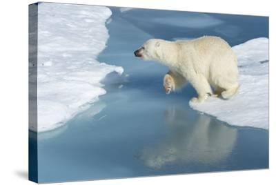 Male Polar Bear (Ursus Maritimus) Jumping over Ice Floes and Blue Water-G&M Therin-Weise-Stretched Canvas Print