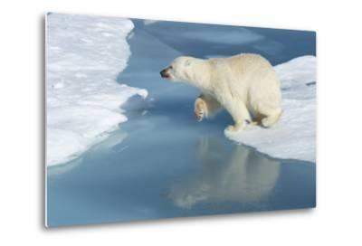 Male Polar Bear (Ursus Maritimus) Jumping over Ice Floes and Blue Water-G&M Therin-Weise-Metal Print