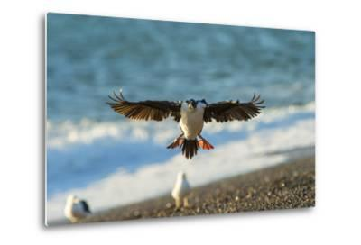 Imperial Cormorant (Pharacrocorax Atriceps), Patagonia, Argentina, South America-Pablo Cersosimo-Metal Print