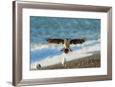 Imperial Cormorant (Pharacrocorax Atriceps), Patagonia, Argentina, South America-Pablo Cersosimo-Framed Photographic Print