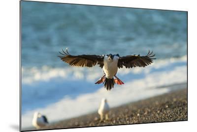 Imperial Cormorant (Pharacrocorax Atriceps), Patagonia, Argentina, South America-Pablo Cersosimo-Mounted Photographic Print