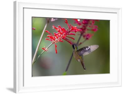 Adult Male Xantus's Hummingbird (Hylocharis Xantusii), Todos Santos, Baja California Sur-Michael Nolan-Framed Photographic Print