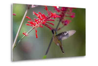 Adult Male Xantus's Hummingbird (Hylocharis Xantusii), Todos Santos, Baja California Sur-Michael Nolan-Metal Print