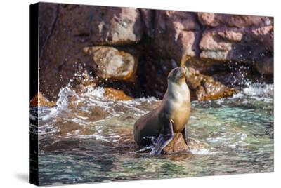 Adult California Sea Lion (Zalophus Californianus), at Los Islotes, Baja California Sur-Michael Nolan-Stretched Canvas Print