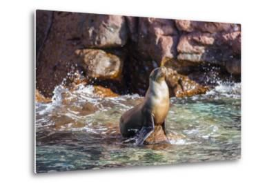 Adult California Sea Lion (Zalophus Californianus), at Los Islotes, Baja California Sur-Michael Nolan-Metal Print