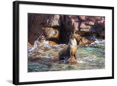 Adult California Sea Lion (Zalophus Californianus), at Los Islotes, Baja California Sur-Michael Nolan-Framed Photographic Print
