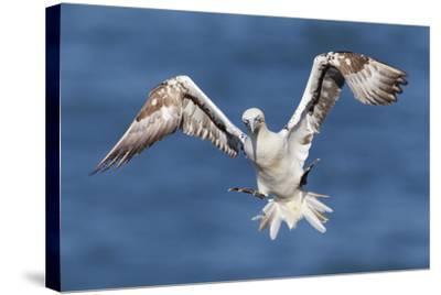 Juvenile Gannet (Morus Bassanus) in Flight Above the Sea at Bempton Cliffs, Yorkshire, England-Garry Ridsdale-Stretched Canvas Print