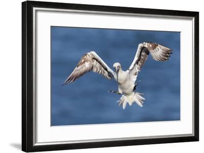 Juvenile Gannet (Morus Bassanus) in Flight Above the Sea at Bempton Cliffs, Yorkshire, England-Garry Ridsdale-Framed Photographic Print