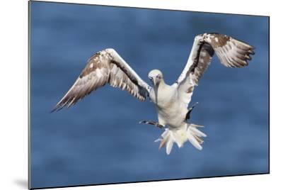 Juvenile Gannet (Morus Bassanus) in Flight Above the Sea at Bempton Cliffs, Yorkshire, England-Garry Ridsdale-Mounted Photographic Print