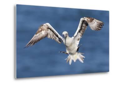 Juvenile Gannet (Morus Bassanus) in Flight Above the Sea at Bempton Cliffs, Yorkshire, England-Garry Ridsdale-Metal Print