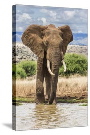 Kenya, Meru County, Lewa Conservancy. a Bull Elephant at a Waterhole.-Nigel Pavitt-Stretched Canvas Print
