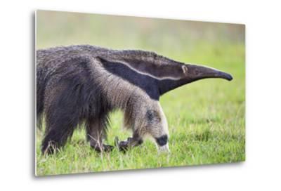 Brazil, Pantanal, Mato Grosso Do Sul. the Giant Anteater or Ant Bear-Nigel Pavitt-Metal Print