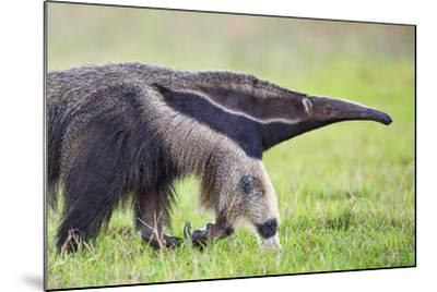 Brazil, Pantanal, Mato Grosso Do Sul. the Giant Anteater or Ant Bear-Nigel Pavitt-Mounted Photographic Print