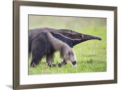 Brazil, Pantanal, Mato Grosso Do Sul. the Giant Anteater or Ant Bear-Nigel Pavitt-Framed Photographic Print